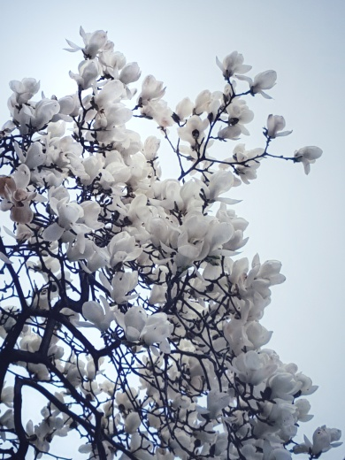 White Magnolia in the area nearby Yeouido Park