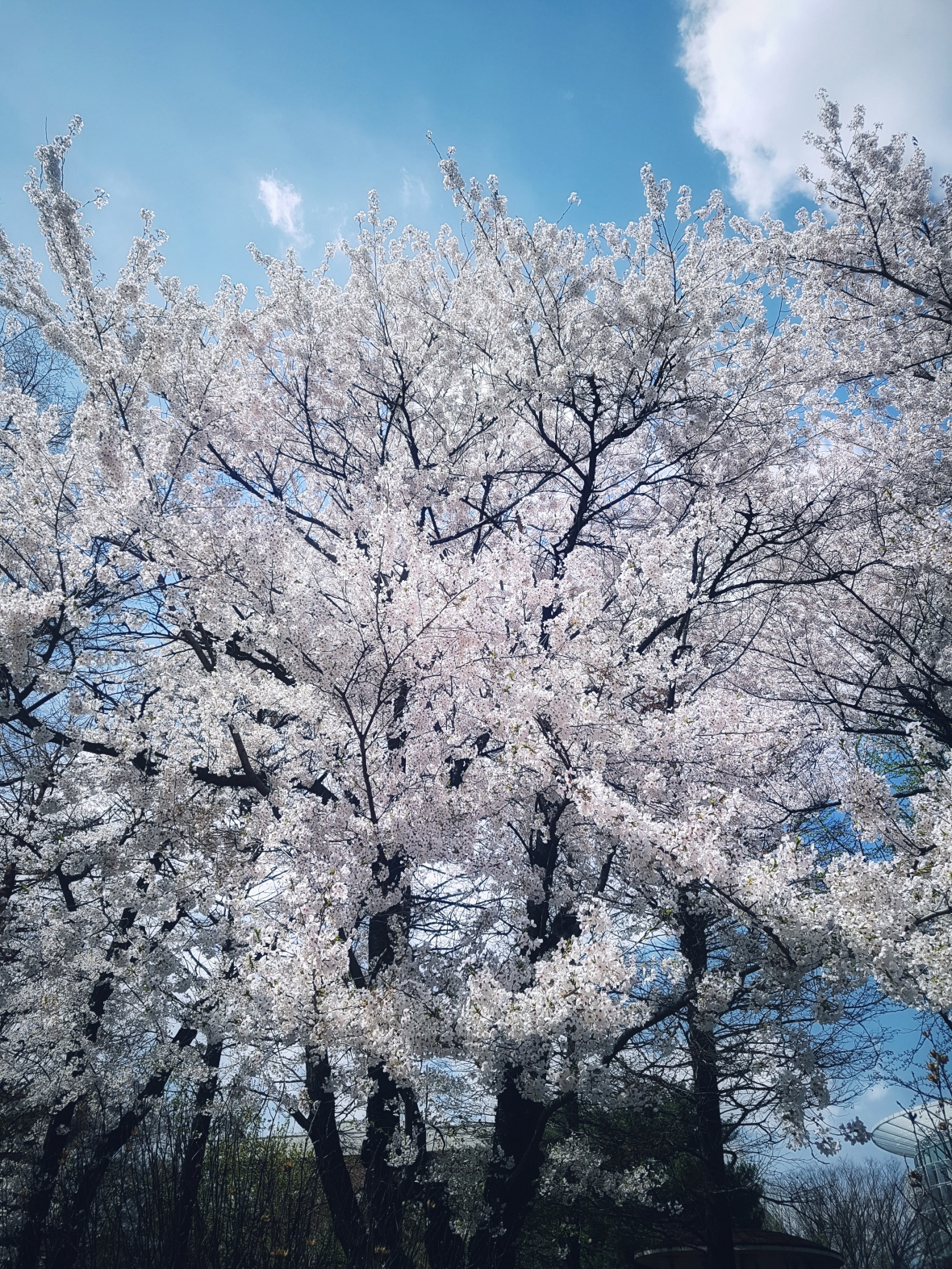Beautiful Cherry Blossoms Tree